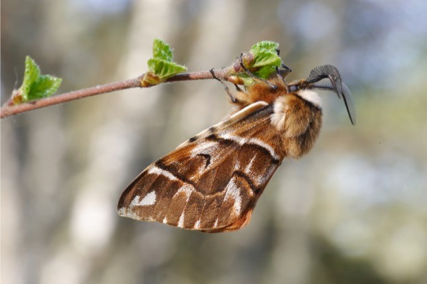 Contrary to its name, the Kentish glory moth is now only found in north east Scotland © Tom Prescott