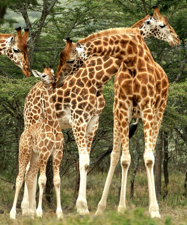 Rothschild's giraffes may now be reclassified as a subspecies of one of the four main giraffe species. © BFF