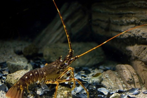 Monitoring spiny lobsters is important for conserving their numbers.