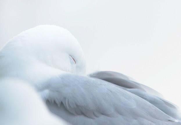 Kittiwake Rissa tridactyla, adult bird with head tucked into wings sleeping, Newcastle Upon Tyne, Northumberland, July