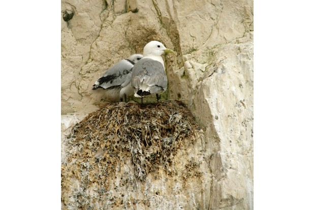 Aren't Birds Brilliant scheme at Seaford, Sussex. Telescopes & binoculars are available for viewing the Kittiwake, Rissa tridactyla,  colony. RSPB staff and volunteers are on hand to talk to visitors. July 2007.