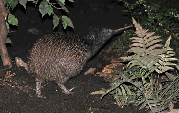 Conservationists in New Zealand hope to protect native species, such as the kiwi, by introducing a new pest eradication scheme. © Lakeview_Images/iStock