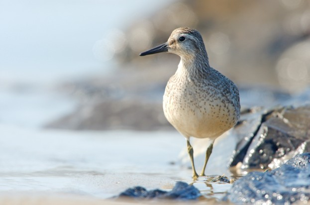 Red Knot-Calidris canutus on shoreline, Texel, The Netherlands, September 2009