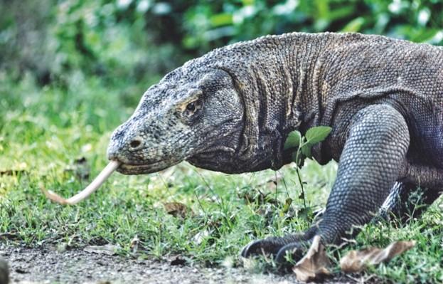 Komodo-dragon-1_623-1177223