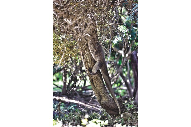 Until they are about 2 years old komodo dragons spend most of their time in tree - even when they are full grown they will occasionally climb when hunting monkeys.