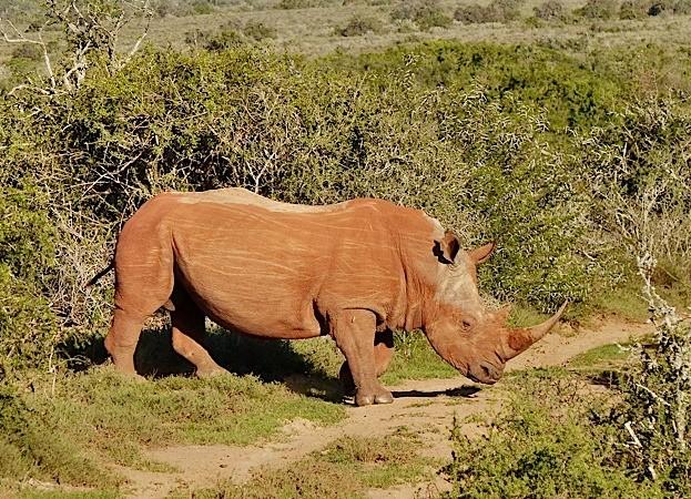 Kwandwe-Red-Rhino-by-Charles-Kinsey_623-27383d7