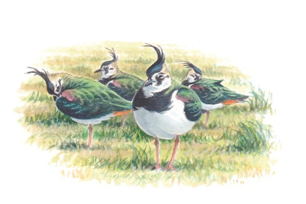 Lapwings_Mike20Langman_623-644591f