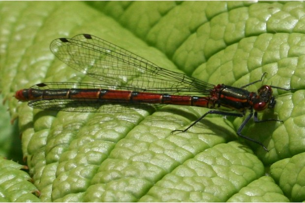 Large20Red20Damselfly20S.20Rae_623-fc67566