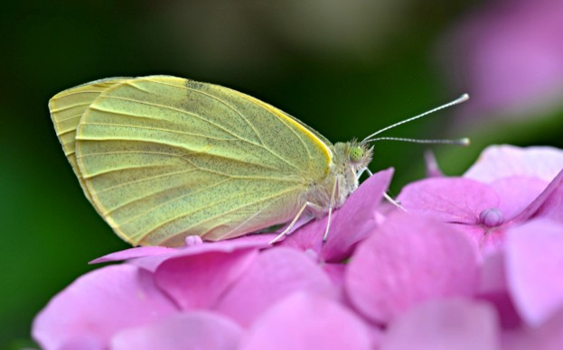 Large20White_Andrew20Cooper2C20Butterfly20Conservation_April202018_623-50f7db6