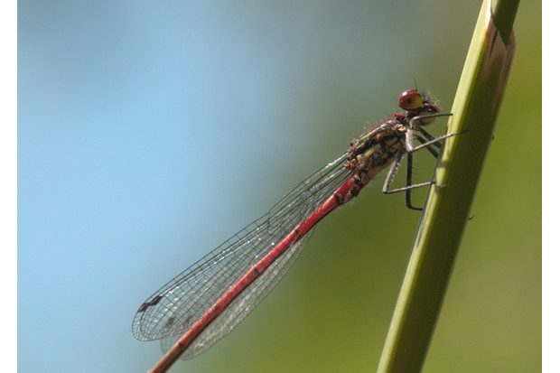 Large Red Damselfly (Pyrrhosoma nymphula) Male. West Sussex, UK. May.