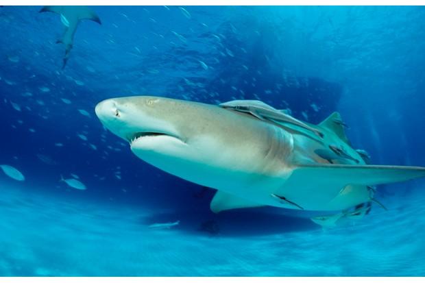 Lemon Shark, Negaprion brevirostris, Bahamas, Grand Bahama Island, Atlantic Ocean