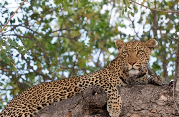 Leopard resting in a tree in Kruger National Park, South Africa © BSIP / UIG / Getty
