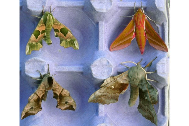 Lime252c2520Elephant252c2520Poplar2520and2520Eyed2520Hawk-moths2520in2520moth2520trap_Patrick2520Clement-2-e27746c