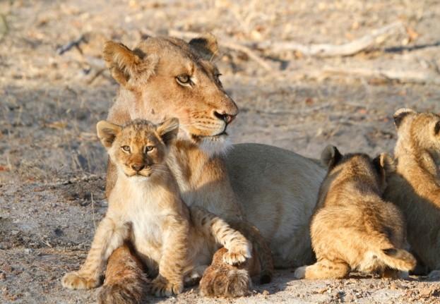 Lion623_0-674c45a