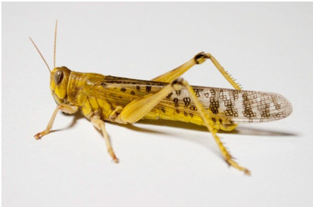 Adult desert locusts are able to repair damaged limbs to restore approximately two-thirds of their original strength. ©Professor David Taylor