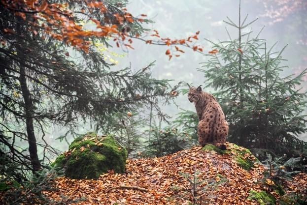 Lynx-in-autumn_ArterraUIGGetty_623-e4f6383
