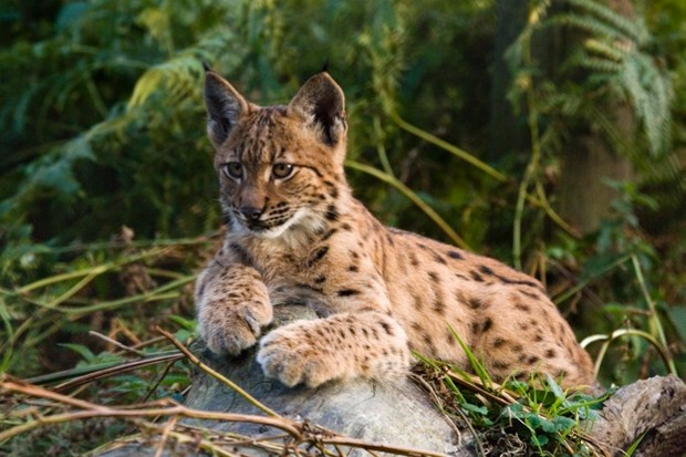The Lynx UK Trust plan to reintroduce six lynx. © Neville Buck