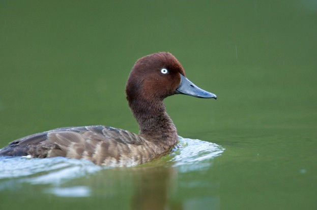 Madagascan Pochard swimming