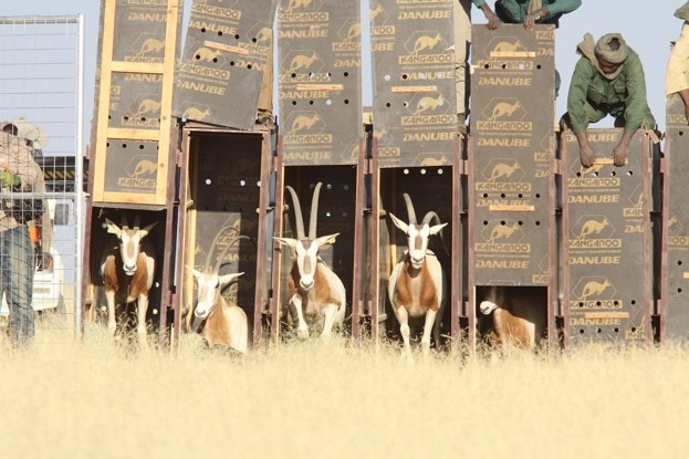 Monumental moment: scimitar-horned oryx are released into holding enclosure. © ZSL
