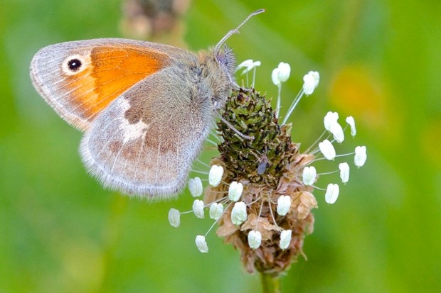 Small heath butterfly. Credit: John Murray/Butterfly Conservation