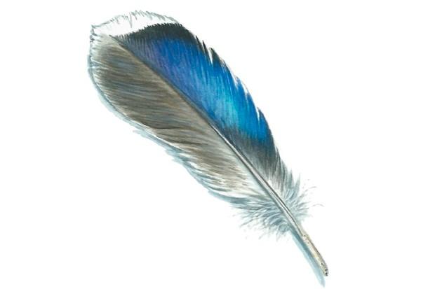 Mallard feather