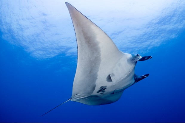 swimming giant oceanic manta ray in the mid blue water