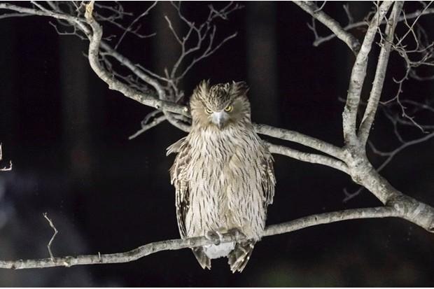 A Blakiston's eagle owl © Manuel Romaris