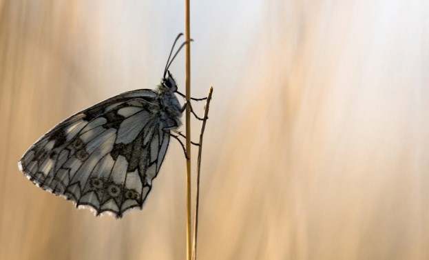Marbled white butterfly © Rob Blanken / Butterfly Conservation
