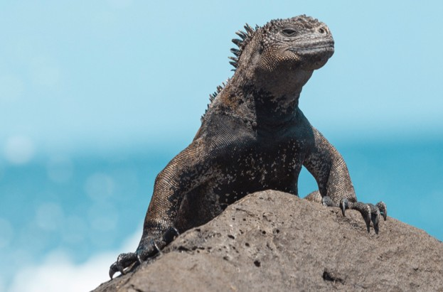 Marine-iguana_Juan-Gabriel-Ortiz_Getty_623-ca2be0a