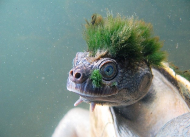 Mary-river-turtle-rank-30-Elusor-macrurus-Chris-Van-Wyk_623-0be0835