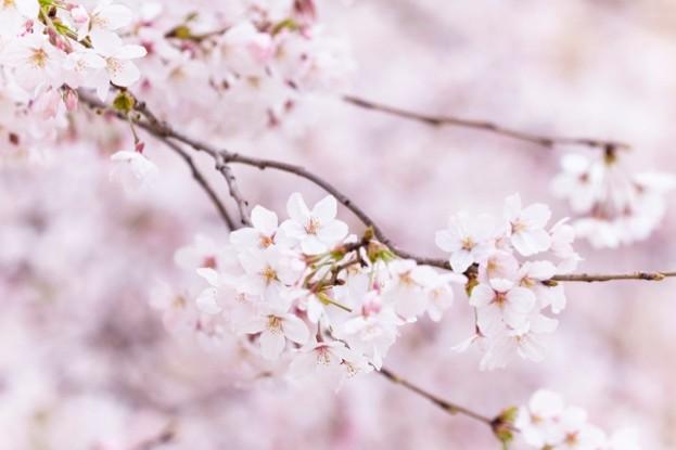 Japanese cherry blossom (sakura) © Masahiro Makino / Getty