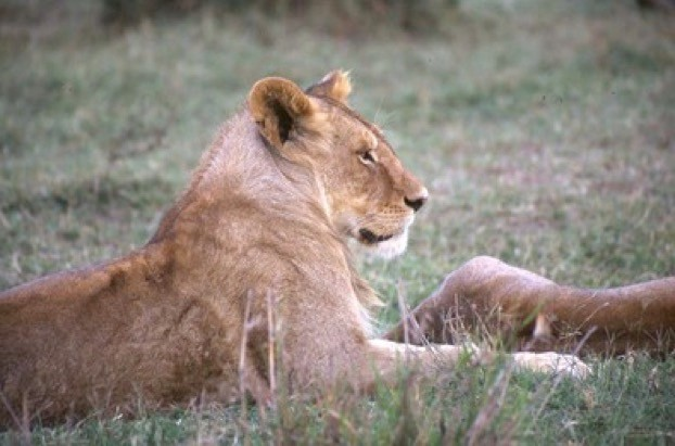 The lions of the Masai Mara's Marsh pride became well known to British viewers thanks to the BBC TV documentary series. © Born Free Foundation