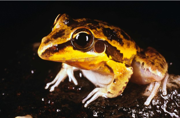 Masked frog (Litoria personata) Kakadu National Park (World Heritage Area), Northern Territory, Australia Masked frog © Auscape / Getty