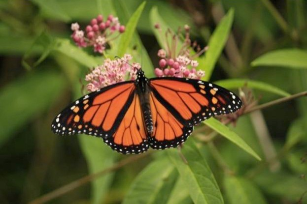 Monarch-butterfly_623_jeff_0-7f6213d