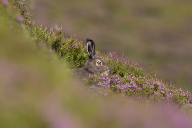Mountain hares are native to the UK, unlike rabbits or brown hares. © Paul Carpenter/Getty