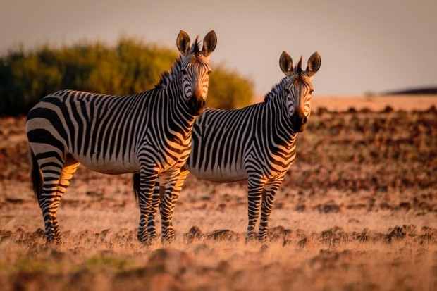 Hartmann's mountain zebra (Equus zebra hartmannae) is a subspecies of the mountain zebra © Education Images / UIG / Getty