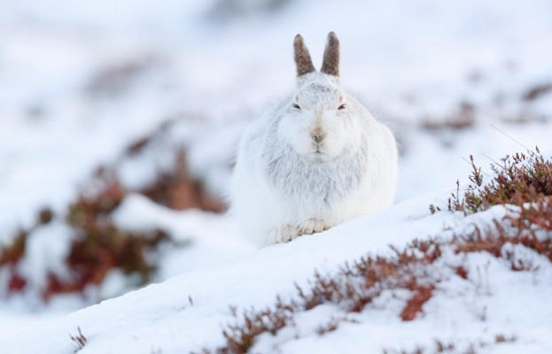 During winter, mountain hares' pelage turns white. © Wild and Free/Getty