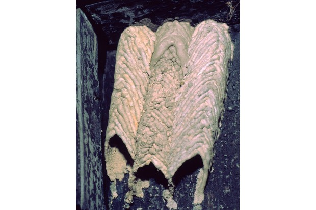 Organ-Pipe Mud-Dauber Wasp, Trypoxylon sp.