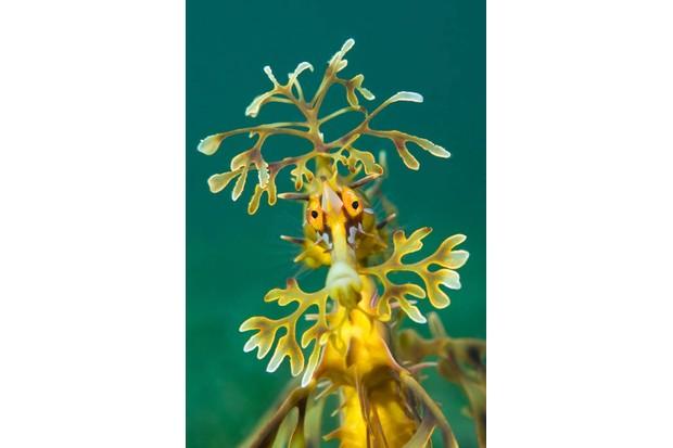 A portrait of a leafy seadragon (Phycodurus eques). Wool Bay Jetty, Edithburgh, Yorke Peninsular, South Australia.