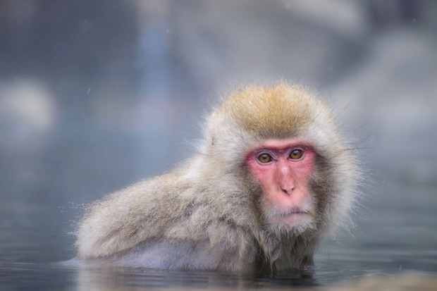 Japanese macaque in a thermal spring at Yudanaka © Naphat Photography / Getty