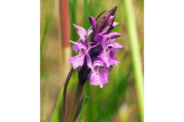 Marsh Orchid, Dactylorhiza traunsteineri. (Photo by FlowerPhotos/UIG via Getty Images)
