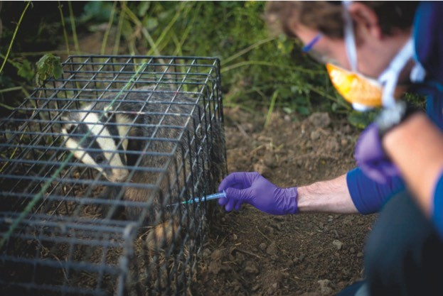 Badgers are being vaccinated against bovine tuberculosis in at least 14 counties across England and Wales. © Neil Aldridge