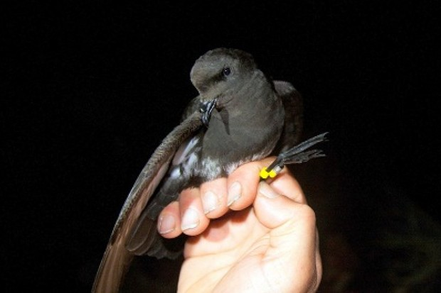 Before 2003, the New Zealand storm petrel hadn't been seen since 1850. © Martin Berg