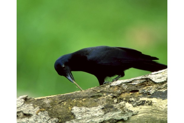 New20caledonian20crow20_20Auscape_Getty_623-b4d921f