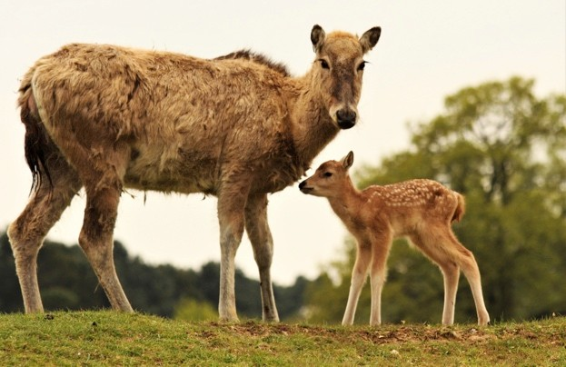 Newborn-Père-David's-deer-stands-with-its-mother-at-ZSL-Whipsnade-Zoo-cZSL_623-d8f142b