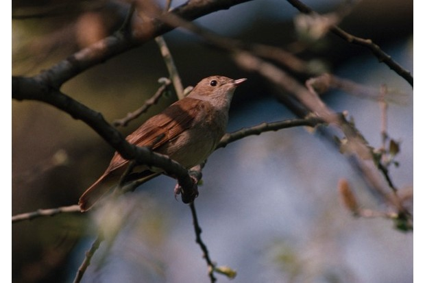 Nightingale Luscinia megarhynchos, side view on branch