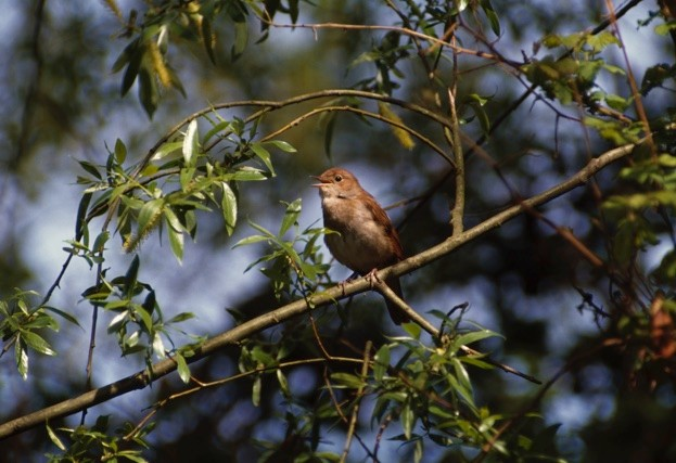 Nightingale Luscinia megarhynchos, perched in tree