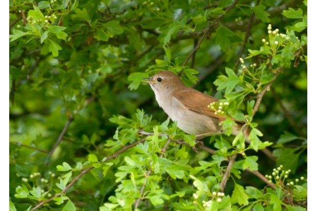 Nightingale Luscinia megarhynchos, singing from a hawthorn bush, Minsmere, Suffolk, May