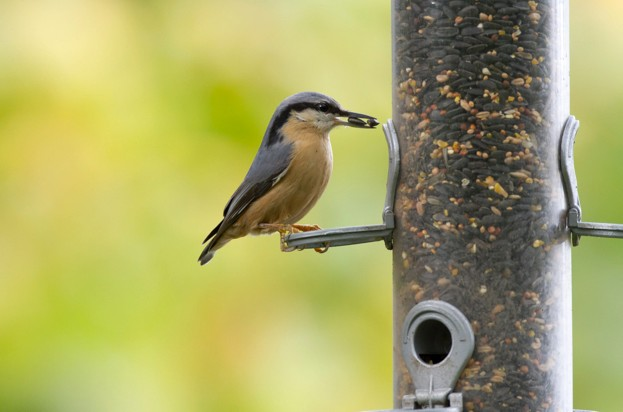 Nuthatch2028credit20BTO-Paul20Newton29_623-913faef