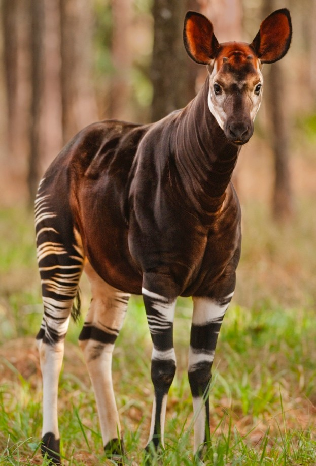 Okapi_-Mint-Images-Frans-Lanting_Getty-captive-Florida_623-9eacdef